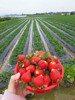 广东省汕头市澄海区红颜草莓 20克以上