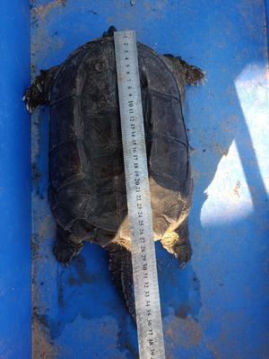 广东省茂名市电白区鳄龟