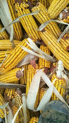 黑龙江省牡丹江市宁安市玉米湿粮 净货 水份17%-20%