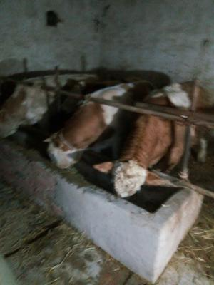 安徽省蚌埠市淮上区西门塔尔牛 1000斤以上 公牛 优质西门塔尔公牛