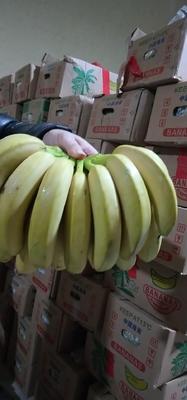 河北省邯郸市丛台区海南蕉 八成熟