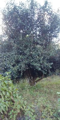 云南省西双版纳傣族自治州勐海县古树普洱茶 三级 散装