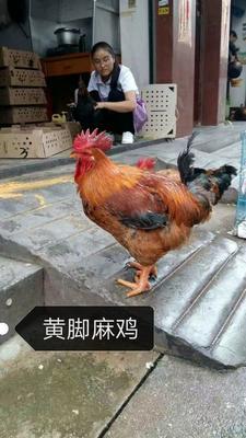 云南省昆明市官渡区黄脚嘛鸡苗