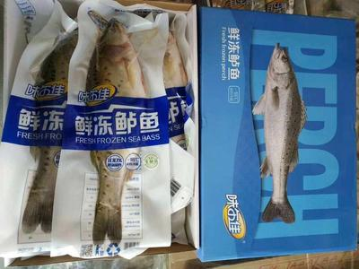 河南省郑州市中牟县海鲈鱼 野生 0.5公斤以下