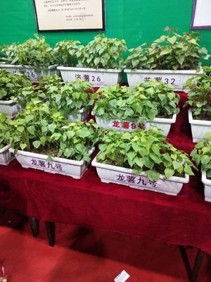 河南省开封市尉氏县商薯19红薯苗 15~25cm