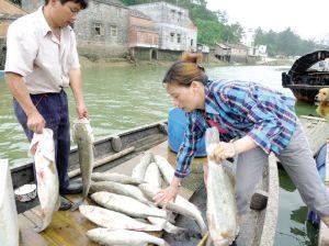 广西壮族自治区钦州市钦南区淡水鲈鱼 人工养殖 1-1.5公斤