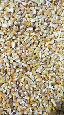 黑龙江省齐齐哈尔市龙江县玉米干粮 净货 水份14%-16%