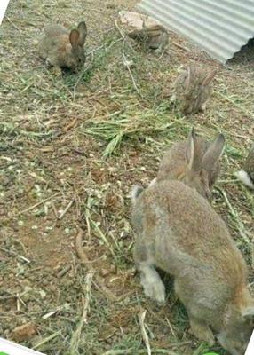 安徽省阜阳市颍州区比利时兔 3-5斤