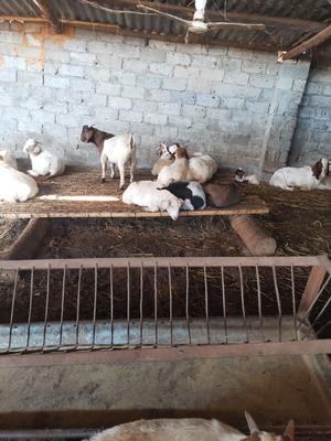 河南省南阳市桐柏县山羊 50-80斤