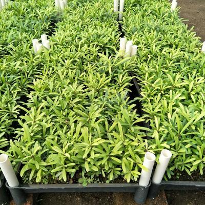 广东省广州市荔湾区台湾罗汉松盆景  台湾罗汉松种苗