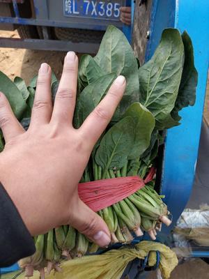 山东省济宁市金乡县大叶菠菜 20~25cm
