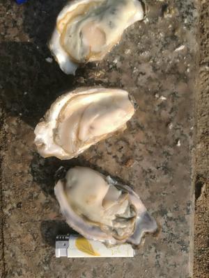 山东省青岛市即墨市青岛野生牡蛎 人工殖养 2-3两/只