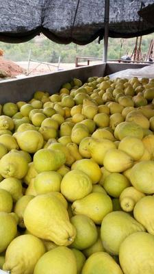 江西省赣州市大余县沙田柚 1.5斤以上
