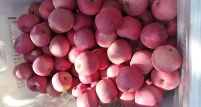 陕西省延安市宜川县红富士苹果 80mm以上 片红 纸袋