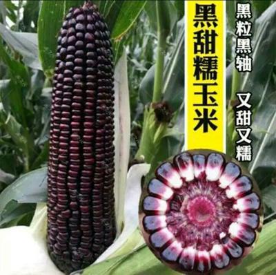 山东省烟台市莱阳市黑甜糯玉米种子 自交系 ≥80%