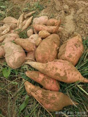 山东省枣庄市山亭区红心红薯 3两~6两 黄皮