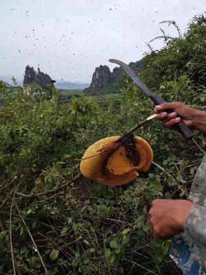 广西壮族自治区崇左市江州区土蜂蜜 塑料瓶装 2年 95%以上