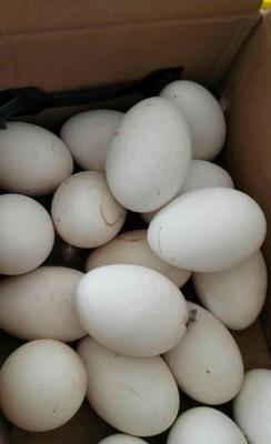 河南省安阳市内黄县种鹅蛋 孵化 散装