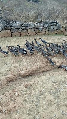 云南省文山壮族苗族自治州文山市杂交鸭 2-3斤 母 全散养
