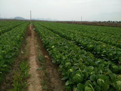广西壮族自治区贺州市富川瑶族自治县青杂三号白菜 3~6斤 毛菜