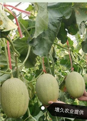 山东省潍坊市青州市哈密瓜种子 常规种(大田用种) ≥95%