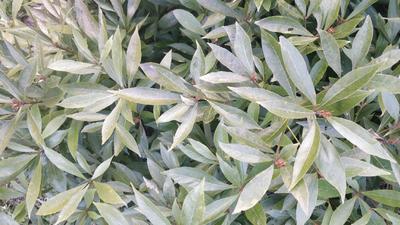 这是一张关于金丝楠苗  细 小叶金丝楠木树苗的产品图片