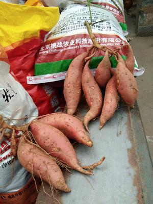 山东省临沂市临沭县烟薯25 3两~6两 红皮