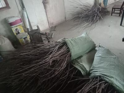 这是一张关于吴茱萸苗 当年生枝条 的产品图片