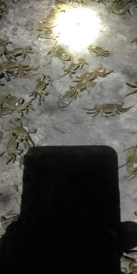 河北省石家庄市平山县固城湖大闸蟹 统货 2.5-3.0两