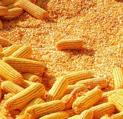 河北省衡水市桃城区玉米干粮 毛货 水份17%-20%