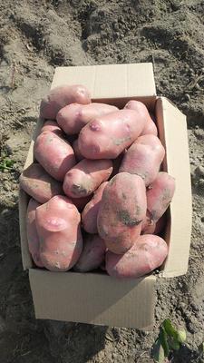 这是一张关于青薯9号 2两以上 的产品图片