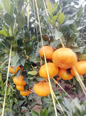 这是一张关于甘平柑橘 7.5 - 8cm 5两以上 的产品图片