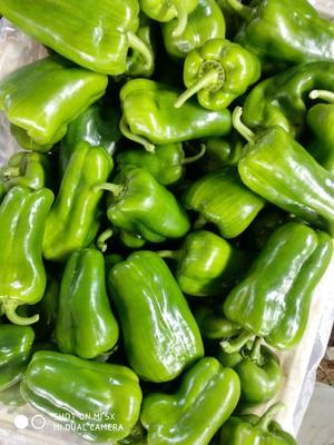 这是一张关于太空椒 10~15cm 甜辣 靑色 的产品图片