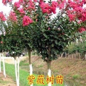湖北省黄石市阳新县紫薇树