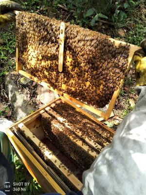陕西省汉中市留坝县中华蜜蜂