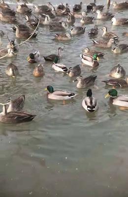 内蒙古自治区巴彦淖尔市五原县斑嘴鸭 2-3斤