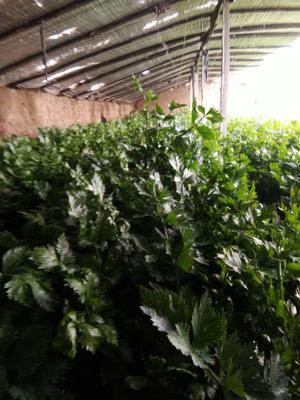 河南省三门峡市灵宝市西芹 55~60cm 0.5斤以下 大棚种植