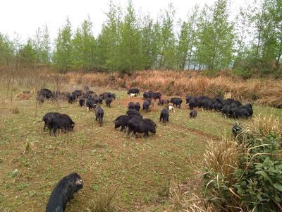 四川省巴中市南江县藏香猪肉 生肉