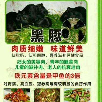海南省海南省文昌市生态黑豚鼠