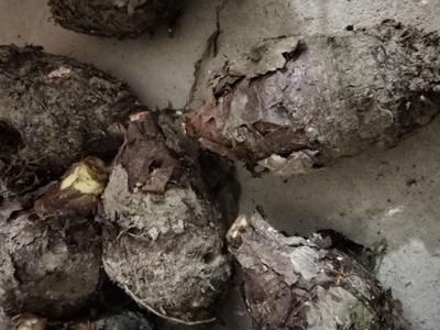 广西壮族自治区河池市罗城仫佬族自治县香芋 2cm以上