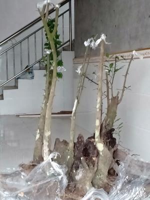 湖南省怀化市麻阳苗族自治县金弹子 35公分以上