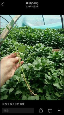 这是一张关于龙薯9号红薯苗 15~25cm 的产品图片