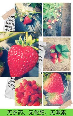 北京顺义区红颜草莓 20克以上