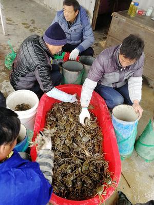 安徽省芜湖市无为县无为大闸蟹 统货 2.0-2.5两