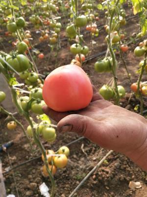 山东省临沂市莒南县硬粉番茄 精品 弧三以上 硬粉