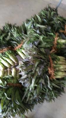 江苏省盐城市东台市红尖叶莴苣 1.5~2.0斤 50-60cm