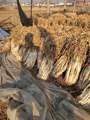 山东省枣庄市滕州市铁杆大葱 50cm以上 毛葱