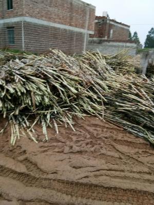 广西壮族自治区贵港市港北区糖蔗 2 - 3cm 3m以上
