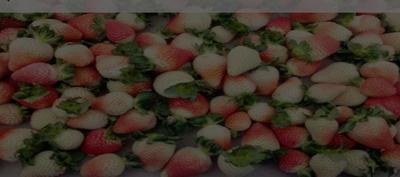 云南省曲靖市会泽县圣安德瑞斯草莓 30克以上