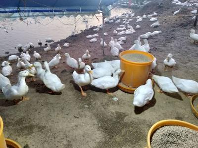 广东省阳江市阳春市白鸭 7-8斤 统货 全圈养